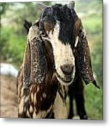Goat Look Metal Print