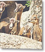 Goats On A Rock Metal Print