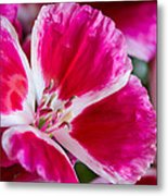 Godetia Pink And White Flower Metal Print