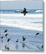Godwits Landing On Pacific Coast Beach Metal Print