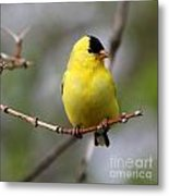 Gold Finch Metal Print