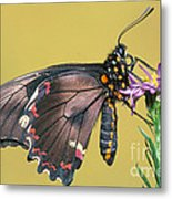Gold Rim Swallowtail Butterfly Metal Print