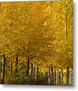 Golden Aspens Metal Print by Don Schwartz