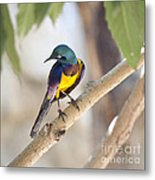 Golden-breasted Starling Metal Print