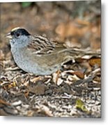 Golden-crowned Sparrow Metal Print