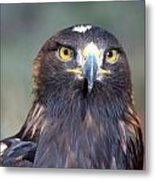 Golden Eagle Lookin' At You Metal Print