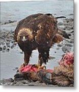Golden Eagle On An Elk Carcass Metal Print
