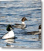 Golden-eyed Ducks Metal Print