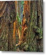 Golden Light Reaches The Grove Floor Muir Woods National Monument Late Winter Early Afternoon Metal Print