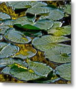 Golden Lilly Pads Metal Print