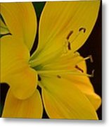 Golden Lily Glow Metal Print