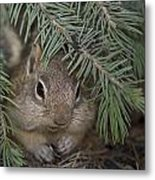 Golden Mantled Ground Squirrel    Callospermophilus Lateralis Metal Print