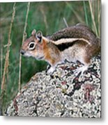 Golden Mantled Ground Squirrel Metal Print