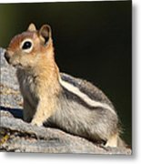 Golden-mantled Ground Squirrel Metal Print
