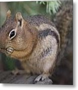 Golden Mantled Squirrel  Callospermophilus Lateralis Metal Print