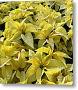 Golden Poinsettias Metal Print