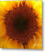 Golden Ratio Sunflower Metal Print by Kerri Mortenson