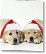 Golden Reriever Puppies, 7 Weeks Old Metal Print