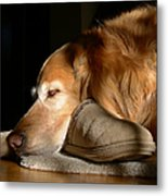 Golden Retriever Dog With Master's Slipper Metal Print by Jennie Marie Schell