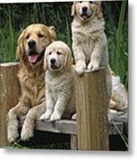 Golden Retriever Dog With Puppies Metal Print
