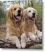 Golden Retriever Dogs Metal Print