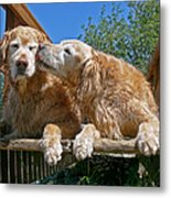 Golden Retriever Dogs The Kiss Metal Print