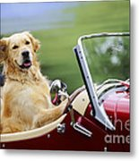 Golden Retriever In Car Metal Print