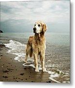 Golden Retriever On Beach Metal Print