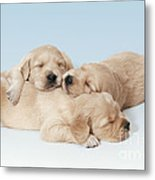 Golden Retriever Puppies Asleep Metal Print
