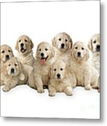 Golden Retriever Puppies, In A Line Metal Print
