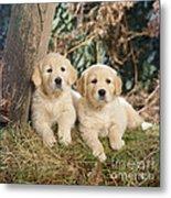 Golden Retriever Puppies In The Woods Metal Print