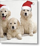 Golden Retriever Puppies With Christmas Metal Print