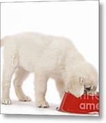 Golden Retriever Puppy Eating Metal Print
