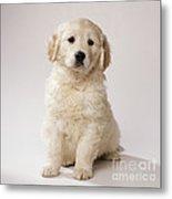 Golden Retriever Puppy Metal Print
