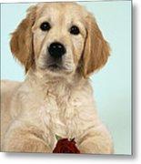 Golden Retriever Puppy With Rose Metal Print