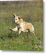 Golden Retriever Running Metal Print