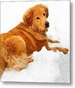 Golden Retriever Snowball Metal Print by Christina Rollo