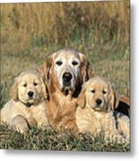 Golden Retriever With Puppies Metal Print