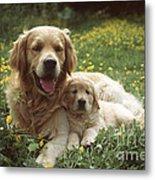 Golden Retrievers Dog And Puppy Metal Print