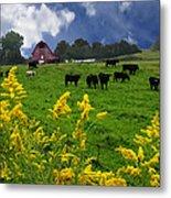 Golden Rod Black Angus Cattle  Metal Print