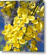 Golden Shower Tree - Cassia Fistula - Kula Maui Hawaii Metal Print