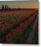 Golden Skagit Tulip Fields Metal Print