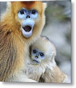 Golden Snub-nosed Monkey And Young China Metal Print