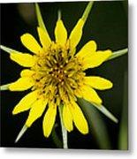 Golden Star Flower Yellow Salsify Glacier National Park Metal Print