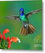Golden-tailed Sapphire At Flower Metal Print