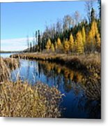 Golden Tamaracks Metal Print