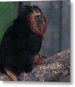 Golden Tamarin Metal Print