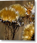 Golden Thistle Metal Print by Bill Gallagher