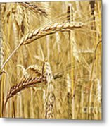 Golden Wheat  Metal Print