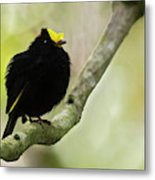 Golden-winged Manakin Metal Print